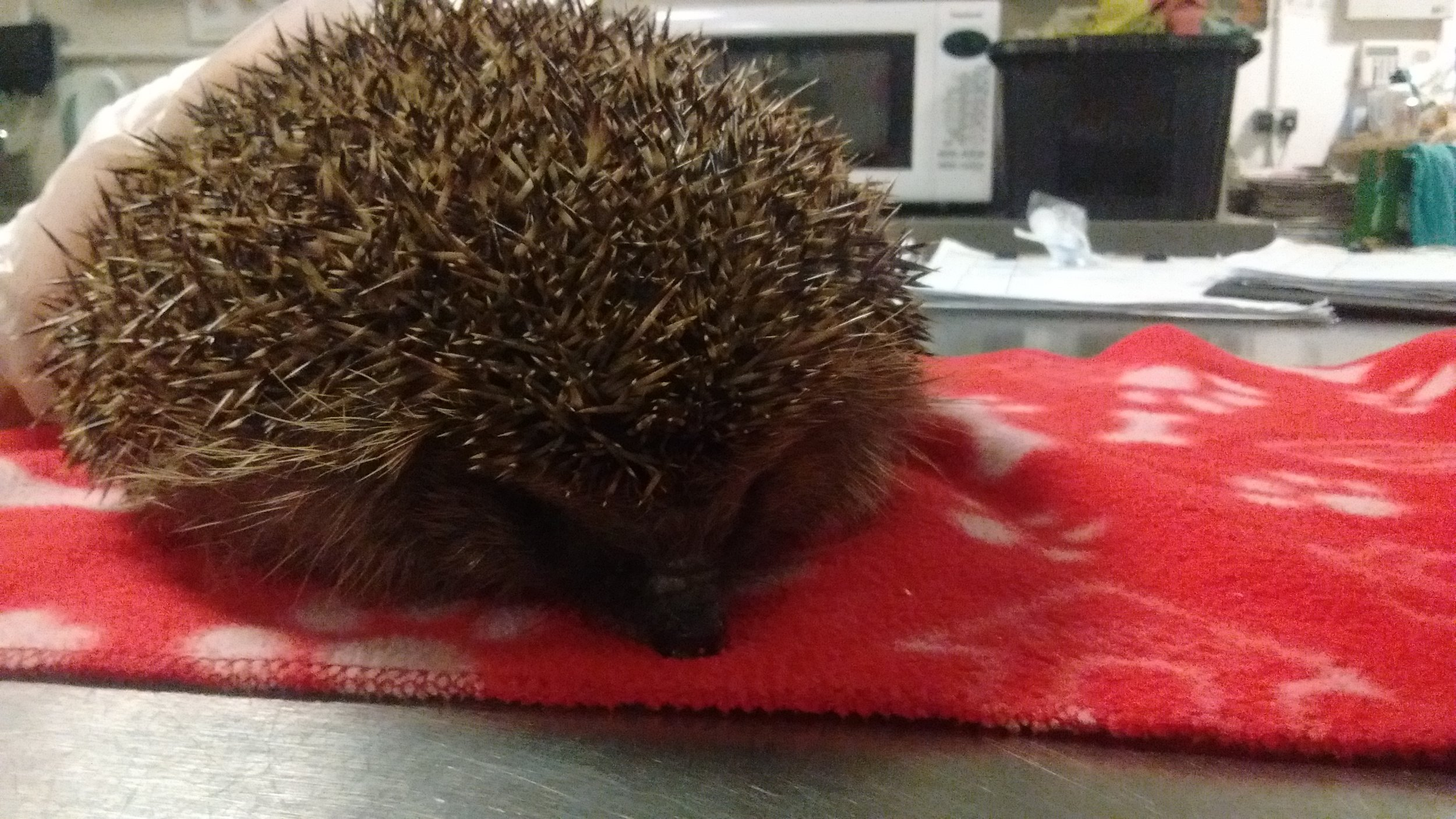 January 2018: Adele the Nightingale garden hedgehog, rescued in November 2017 (at 300g and full of parasites) and fattened up very successfully in the local hospital.