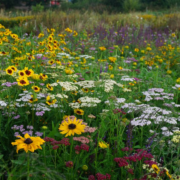 Tuscan Hills perennial meadow - from   Pictorial Meadows  . It has several plants that do well in our thin free draining soil.
