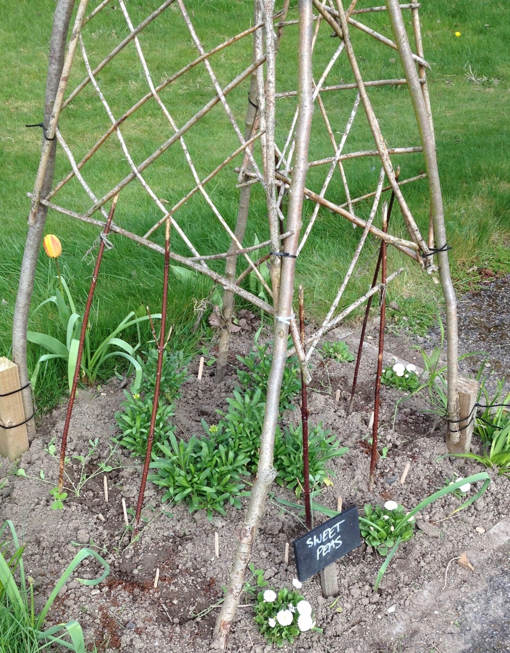 The other sweet pea wigwam, with a few bedding plants... hope they won't compete too much for resources.