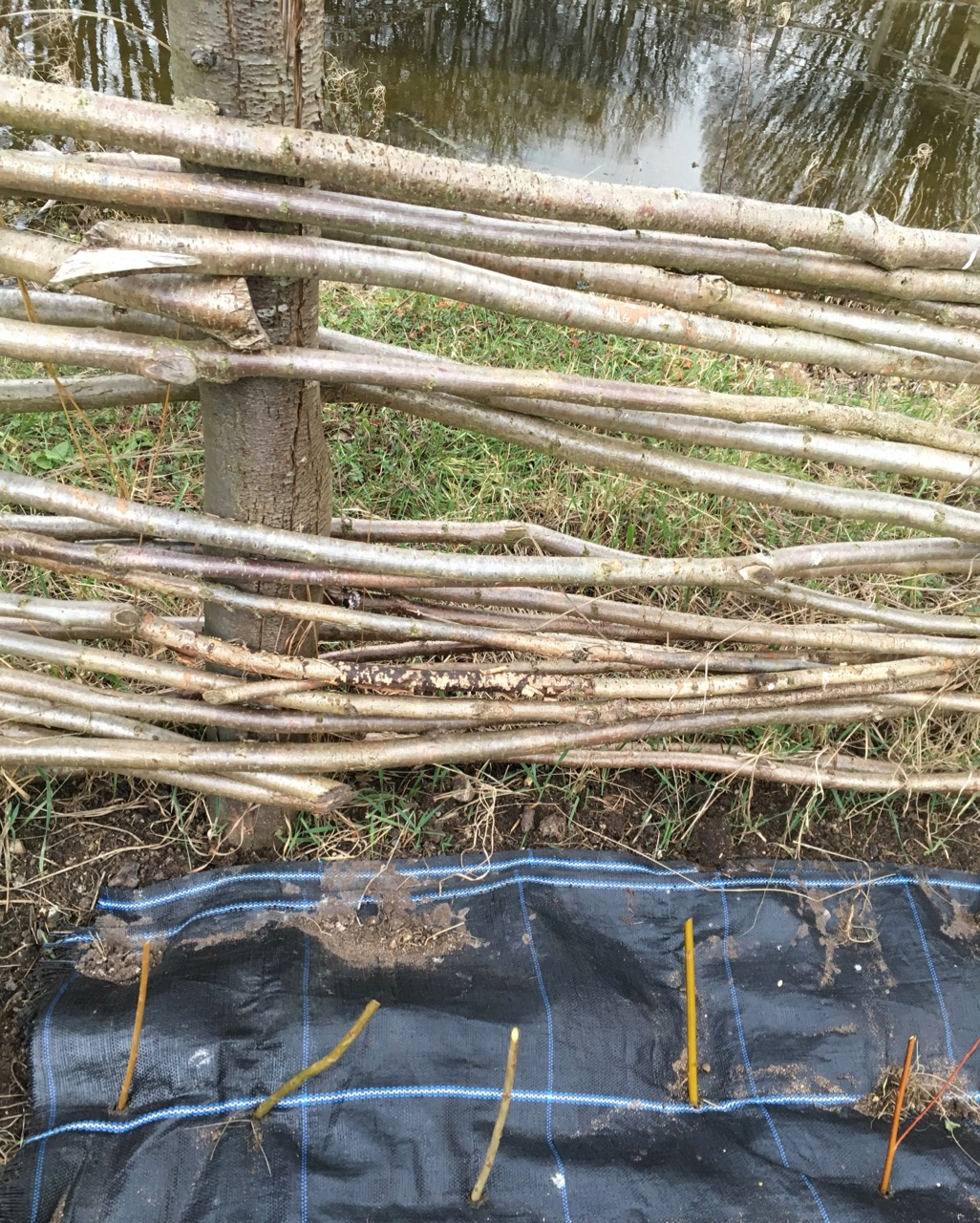 The new 'sticks' are cuttings of pretty basketry willow, from a nearby allotment. We hope they will grow into the existing fence around the pond and eventually make a living deciduous hedge around it. They will have some bark mulches soon.
