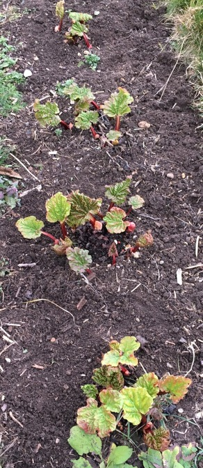 New shoots of rhubarb are another sign of Spring…