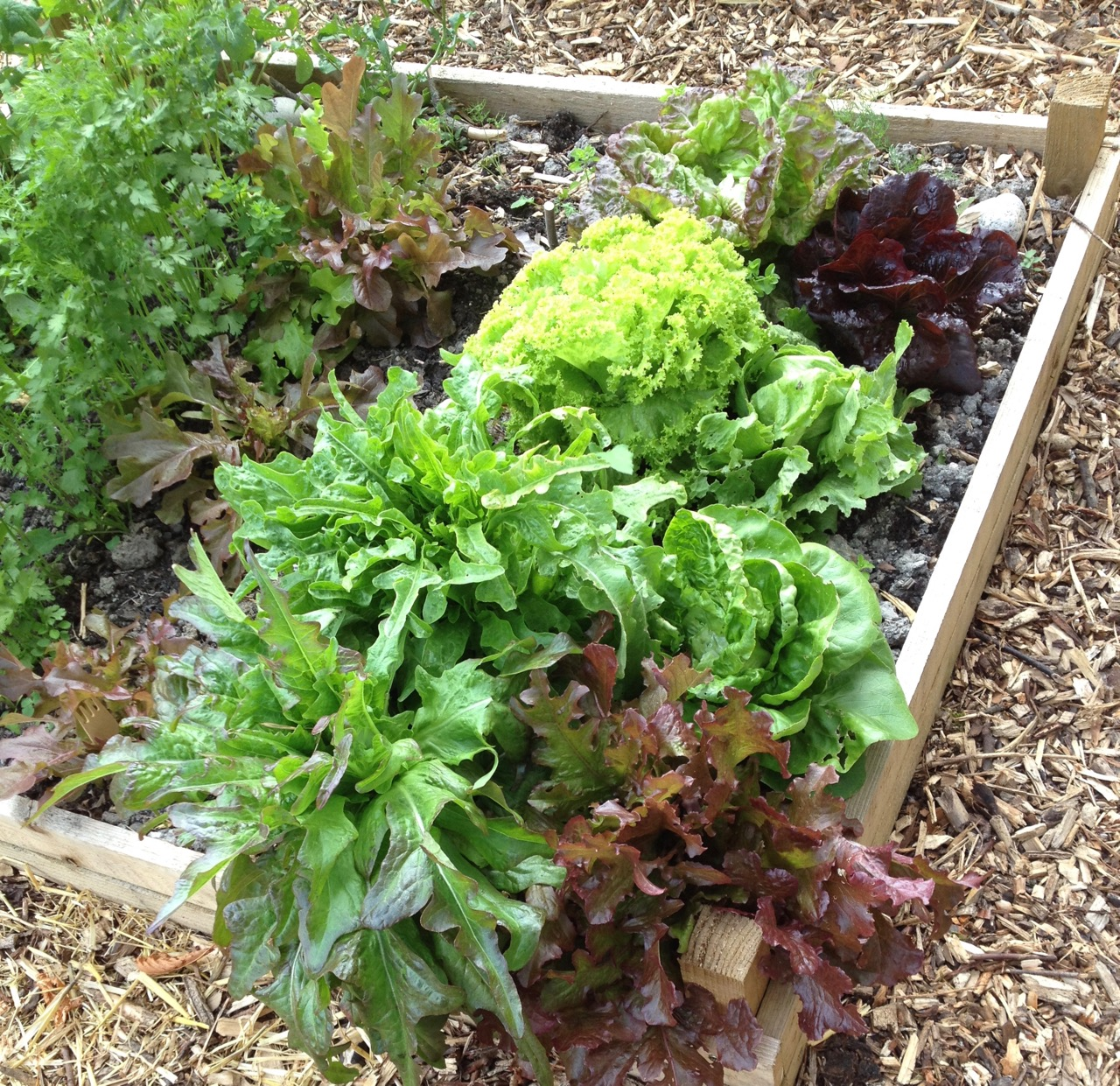 June 2018: Salad bed with lots of different types and colours of leaves to eat.