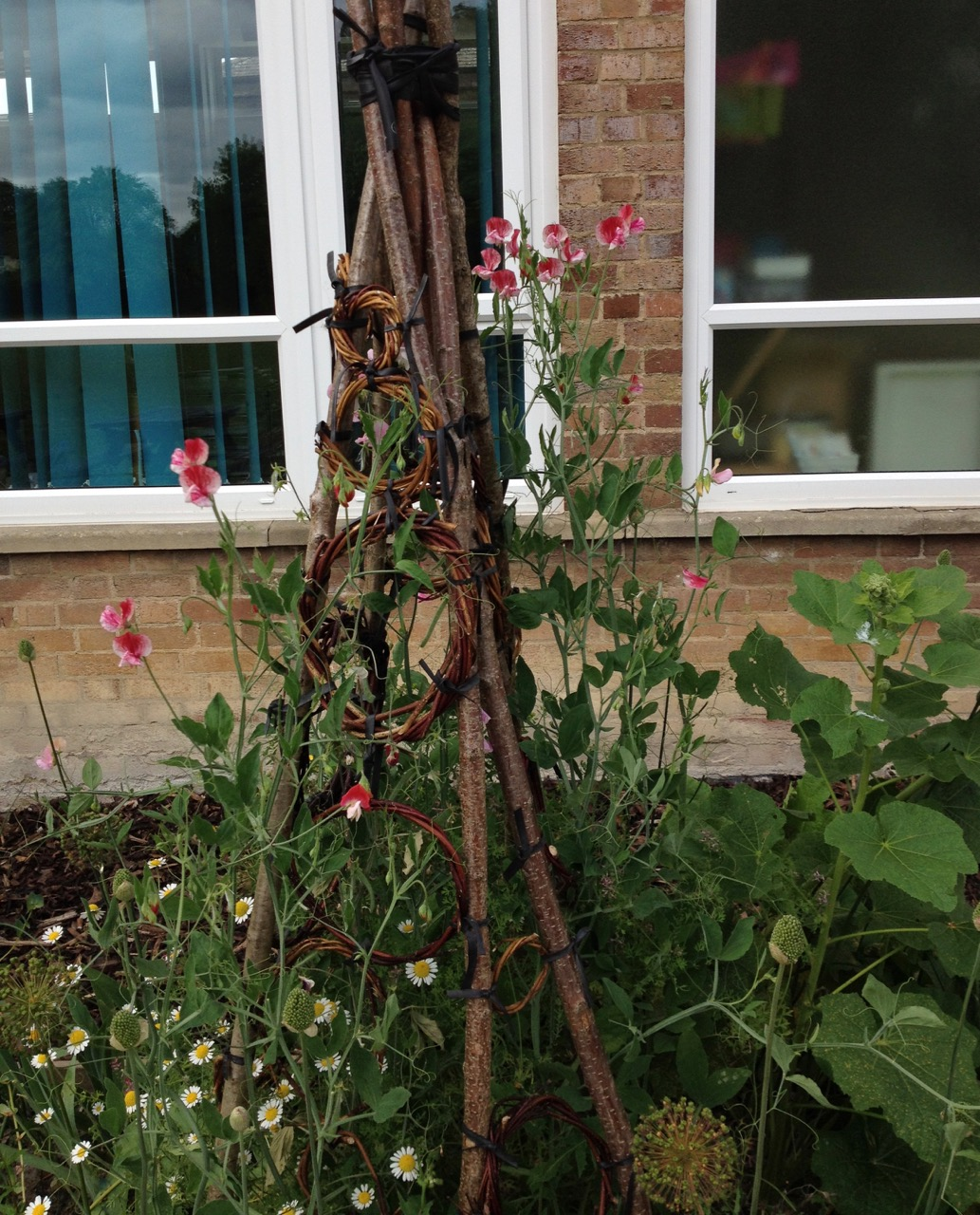 June 2018: Sweet peas by the staff room. Wigwam made by school students, with a bit of help. Bicycle inner tube ties didn't last very well in the sun.
