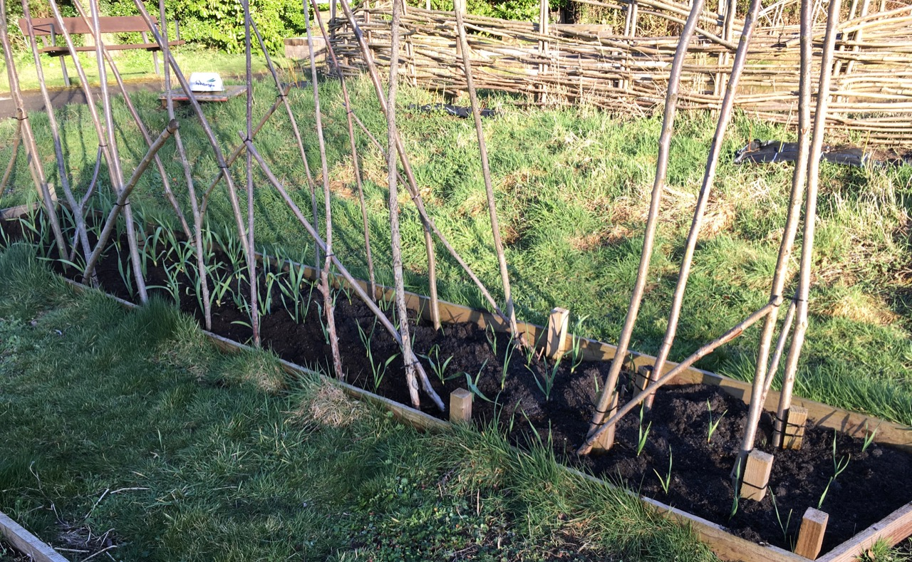 Beds for hungry veg will get a mulch too - here, the over-wintering garlic is growing well, before we put runner beans in later on.