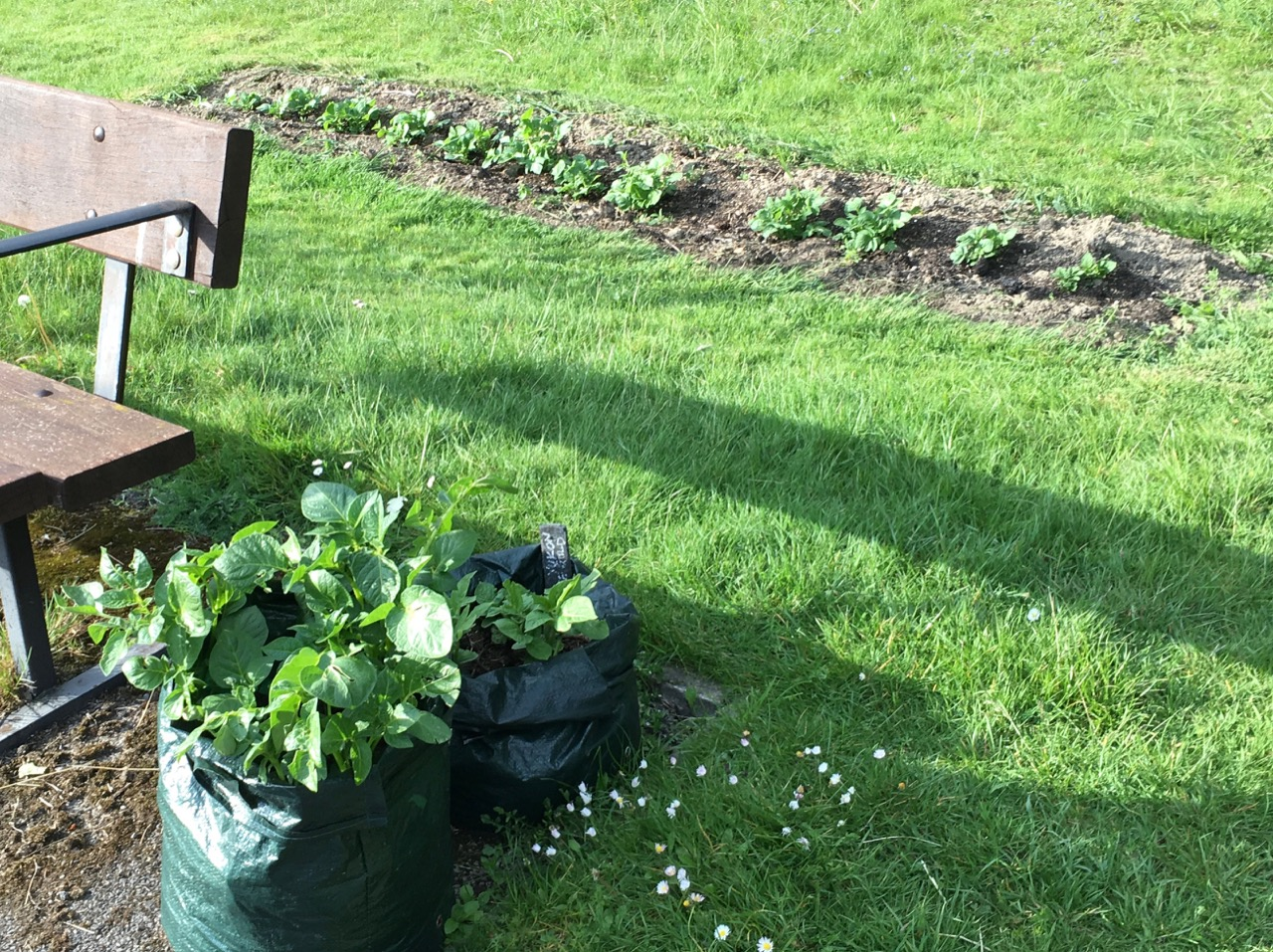 We have more kinds of potatoes growing this year, in the ground, bags and pallet planters.