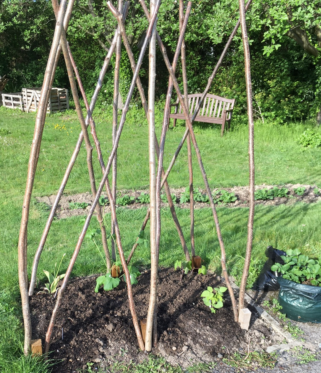 We are trying out some 'shelling beans' this year, growing up our super-tall wigwam. Some are Greek giganti beans and we are trying borlotto and some other spotty beans. We won't harvest the green pods for eating but let them dry and harvest them at the end of the season as beans inside dry pods. We will also have wigwams for runner and green beans in other places.