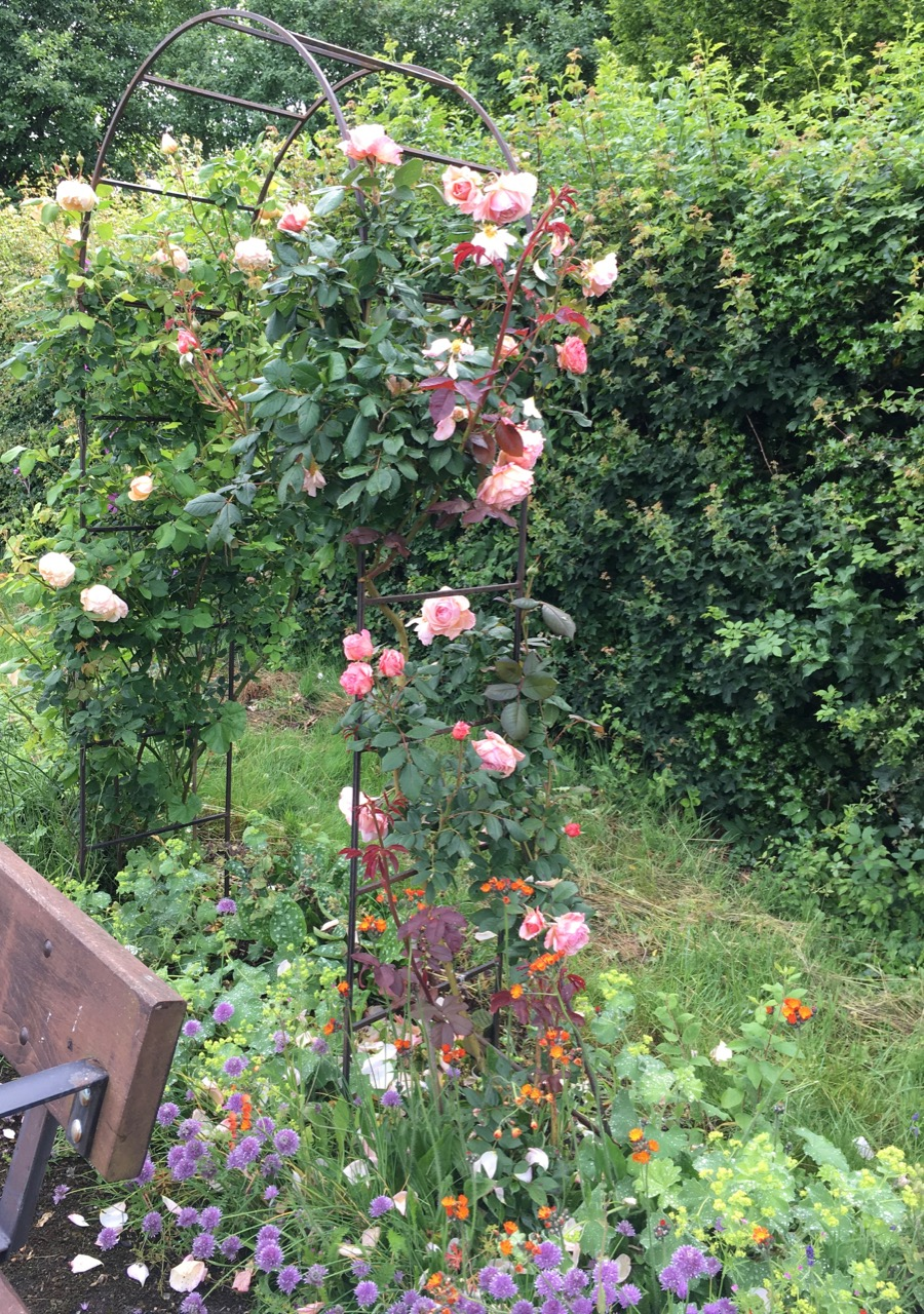 Last year we were struggling with drought, this year we have cancelled sessions and very full water butts. But the roses are enjoying it. They have been selected for fragrance so do have a good sniff.