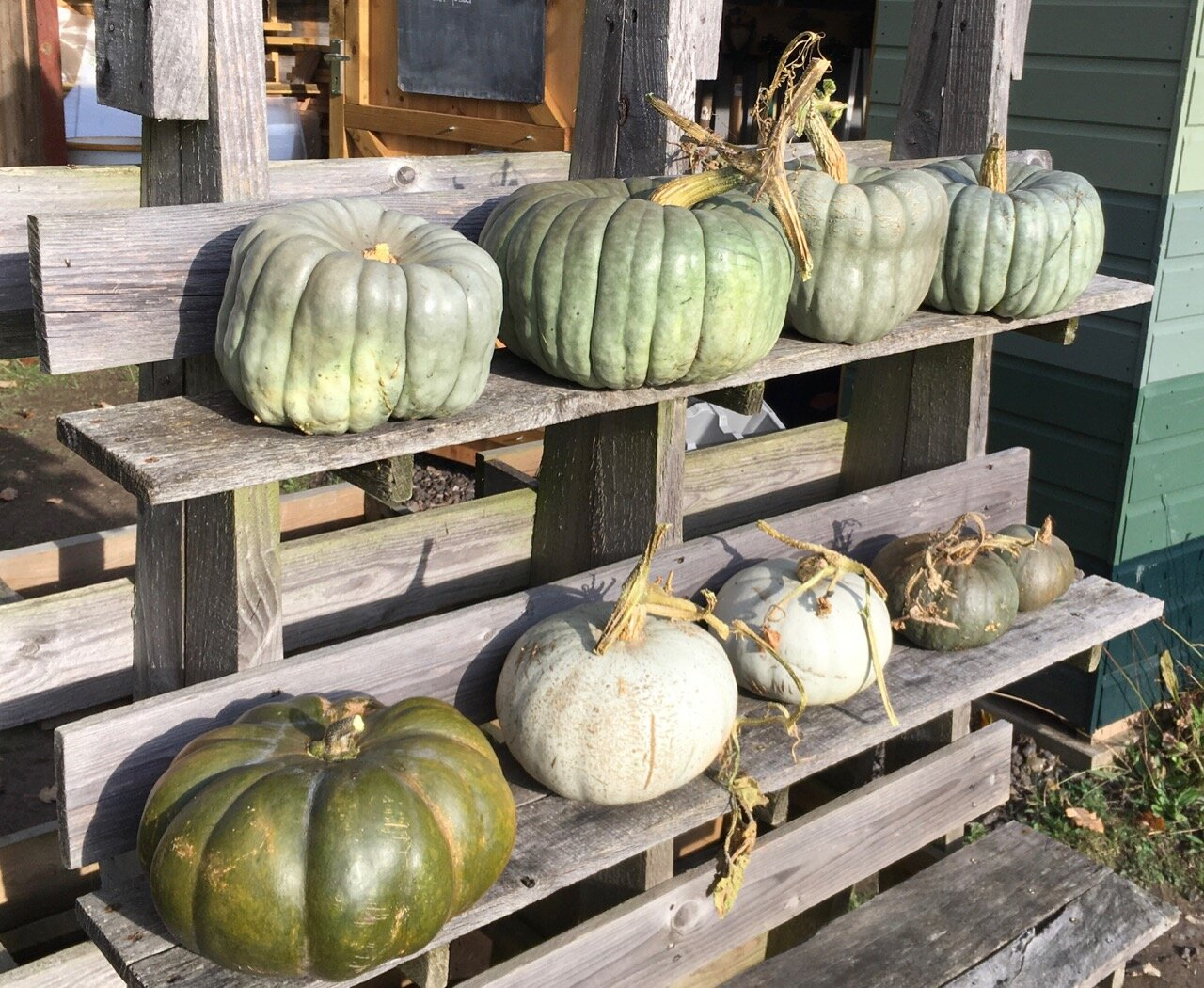 Most of our winter squash crop taking the air - they were getting a bit damp in the club hut. All selected for taste: Queensland Blue, Crown Prince, Musquee de Provence and (I think) Blu Kuri. They will be moved somewhere less damp and used for community eating over the next few months.