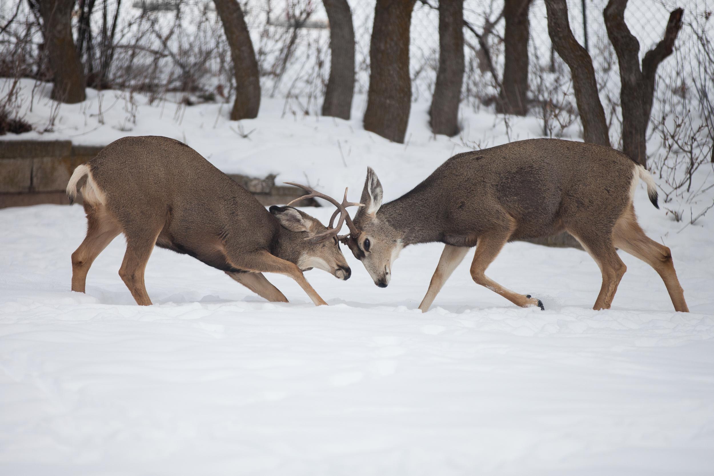 DeerBattle-6414.jpg