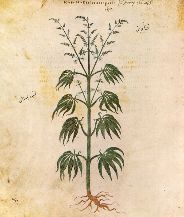 Cannabis sativa , from The Vienna Dioscurides, 512 AD