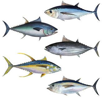 Assorted tuna species pictured. Addressing the crisis of over-fishing will be a top priority of the Oceans Flotilla.