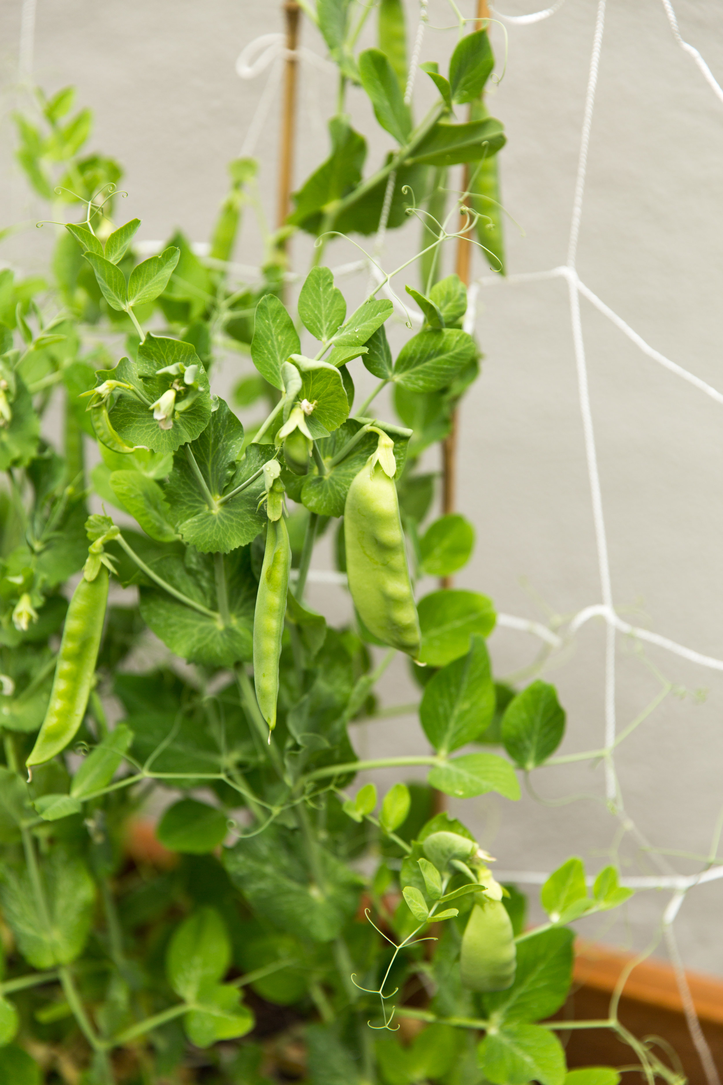 pea pods growing in garden