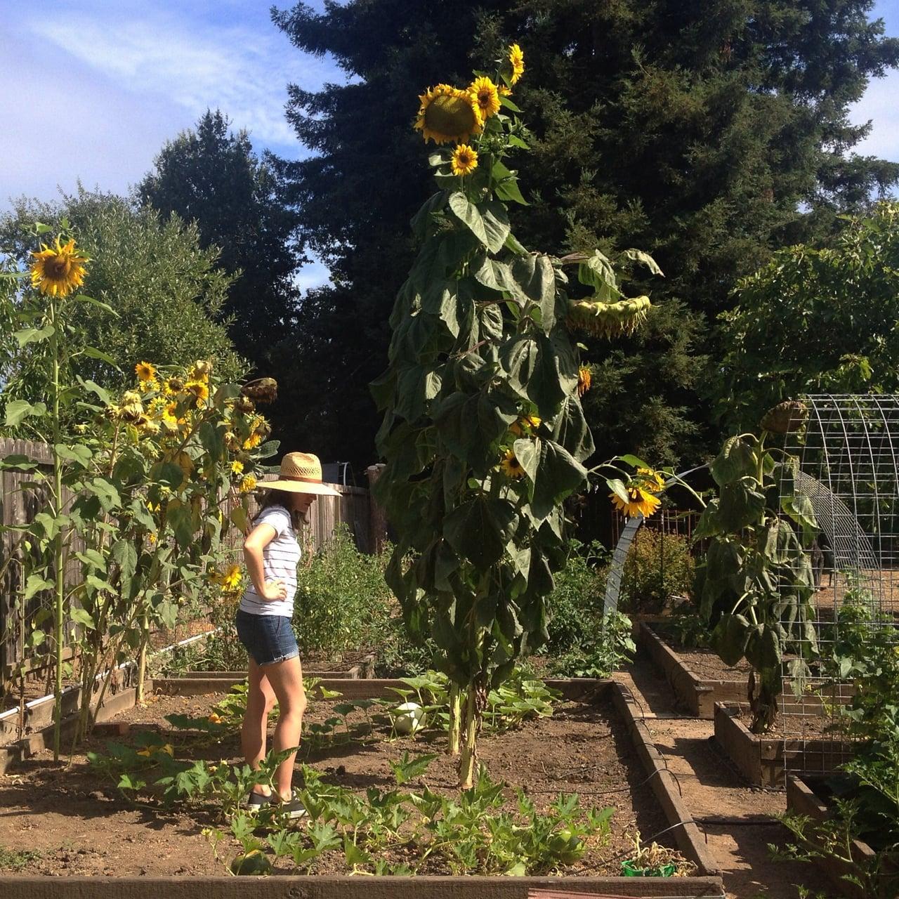 An 11' tall sunflower