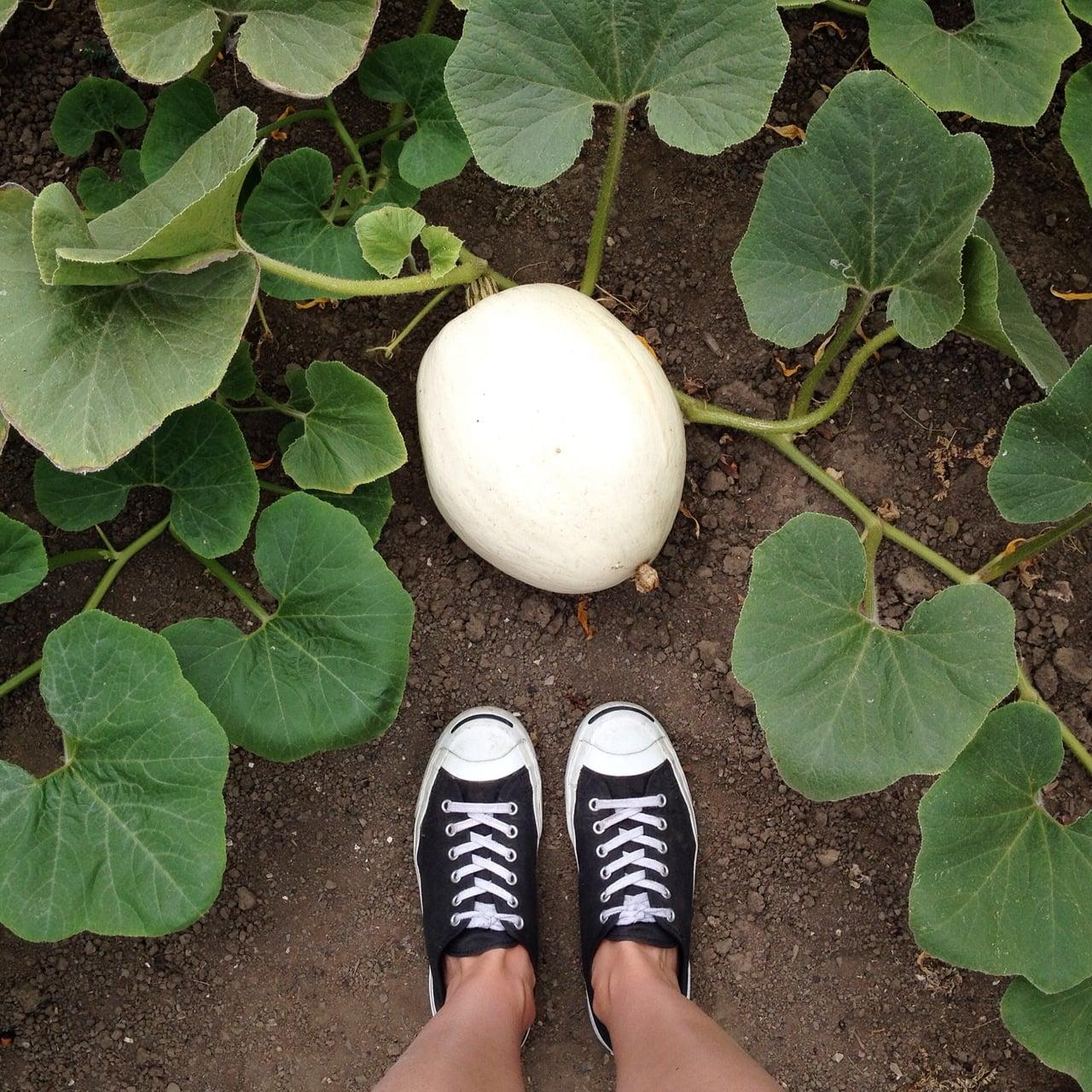 A white pumpkin on the vine