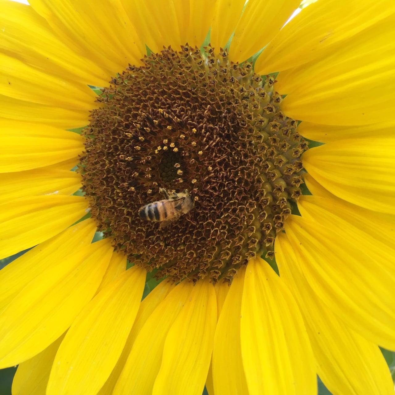 A busy pollinator