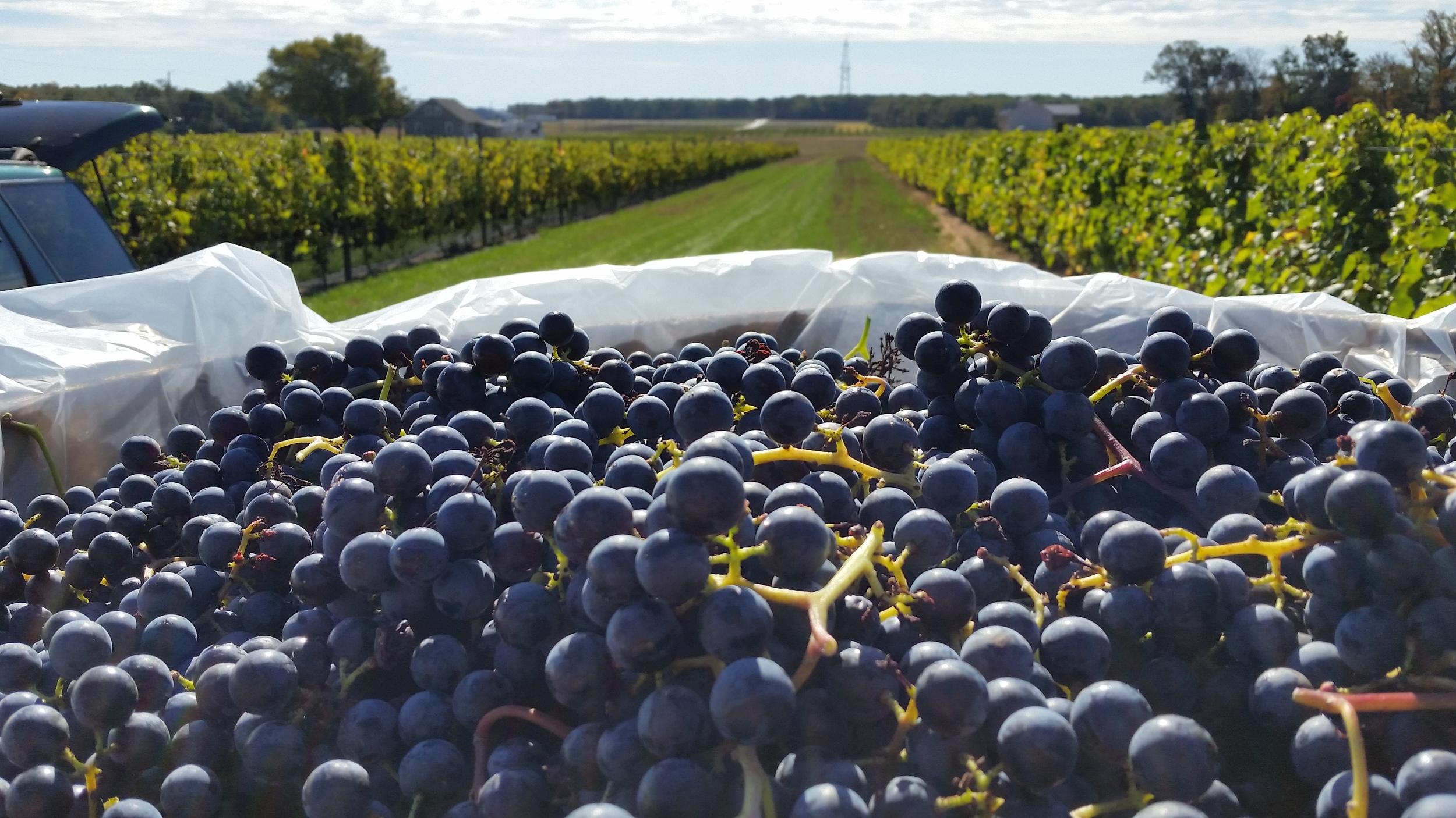Grape Harvest Vineyard