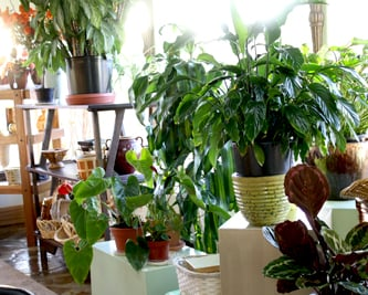 Our shop offers a wide selection of house plants and flowering plants.
