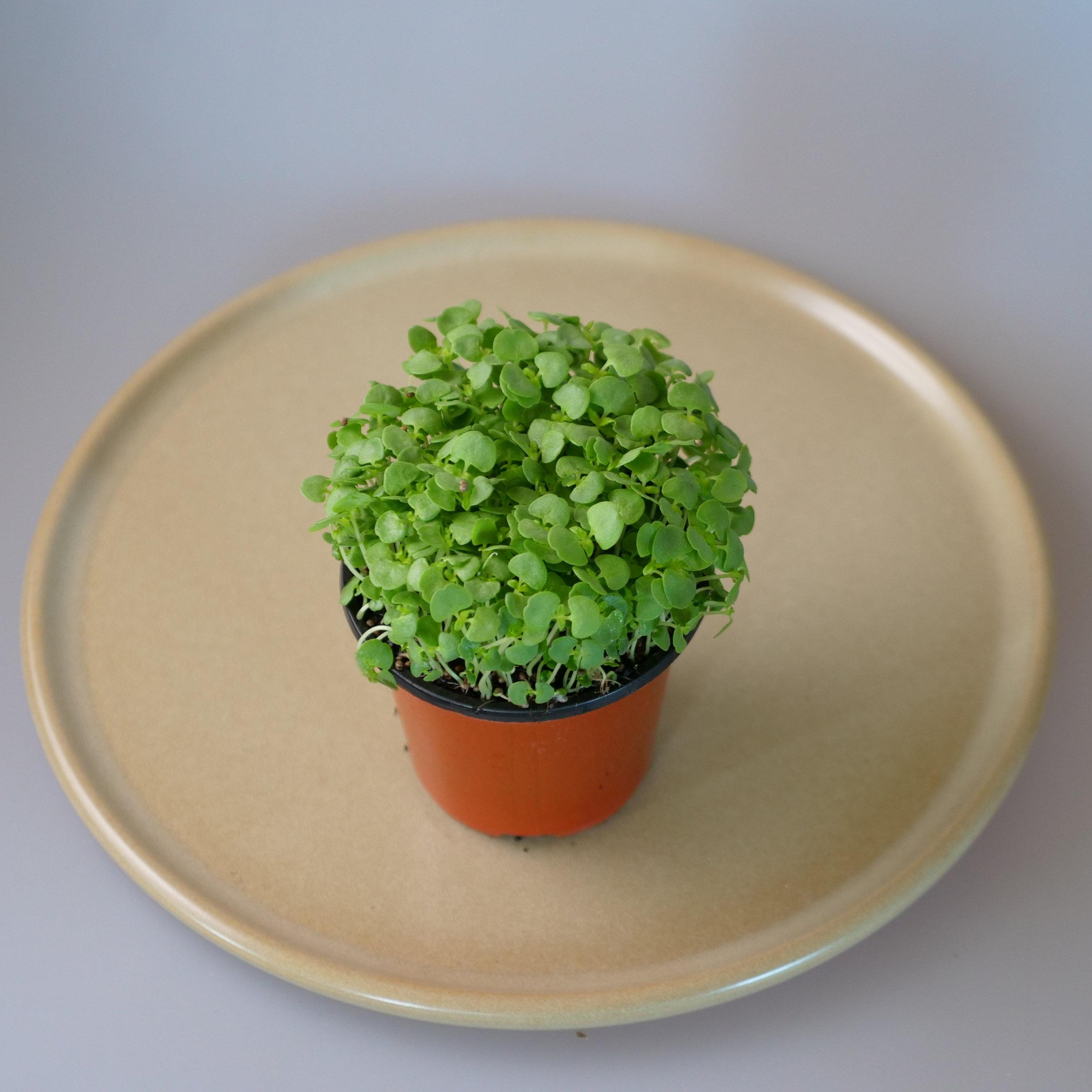 SHISO GREEN