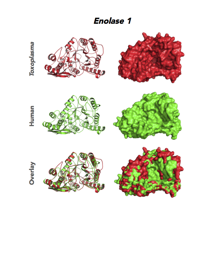 Crystallographic structures of Toxoplasma and human enolases.