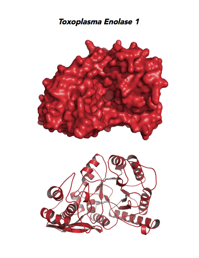 Crystallographic structure of Toxoplasma Enolase 1 (ENO1).