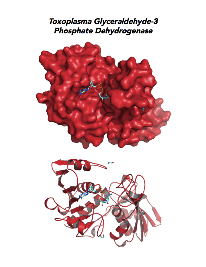 Crystallographic structure of Toxoplasma  Glyceraldehyde-3-phosphate dehydrogenase 1 (GAPDH1).
