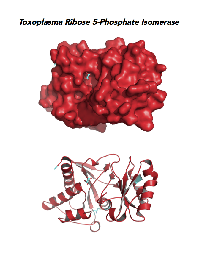 Crystallographic structure of Toxoplasma Ribose 5-Phosphate isomerase (RPI).