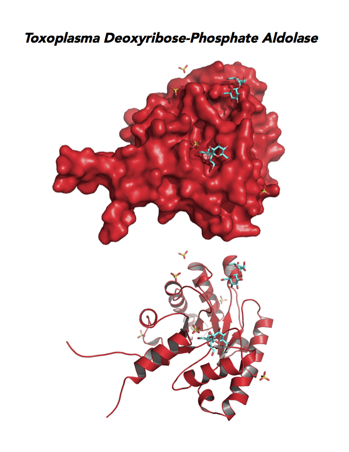 Crystallographic structure of Toxoplasma Deoxyribose-phosphate aldolase-like (DPA).
