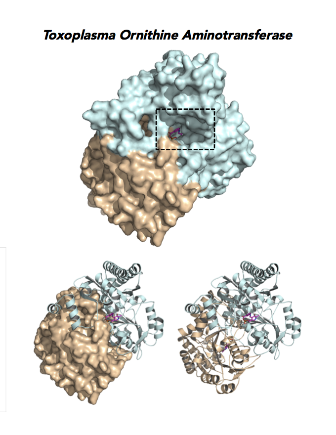 Crystallographic structure of Toxoplasma ornithine aminotransferases.