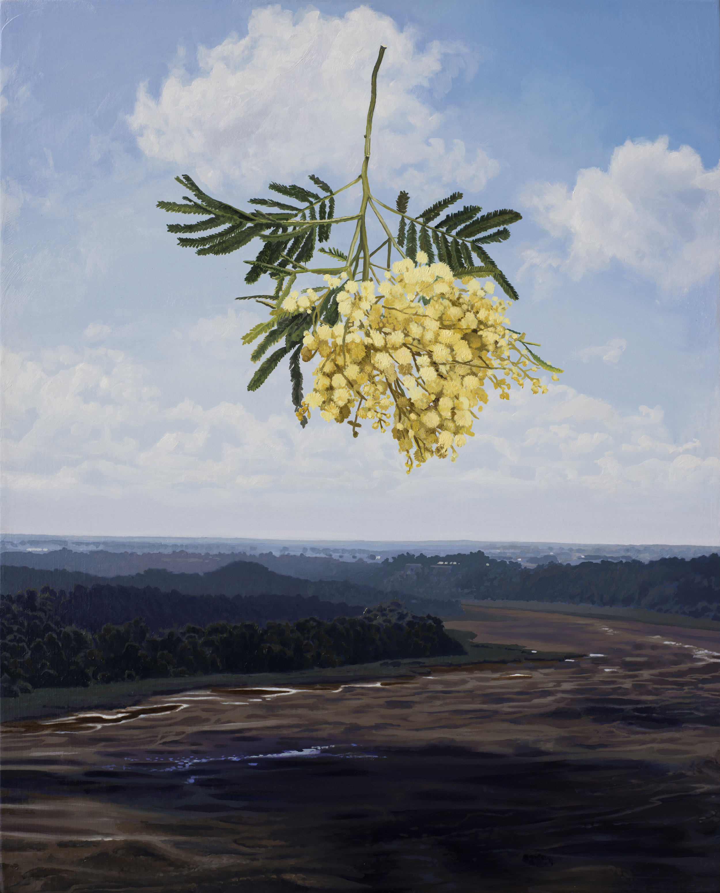 Drought in the Anthropocene : Acacia Decurrens