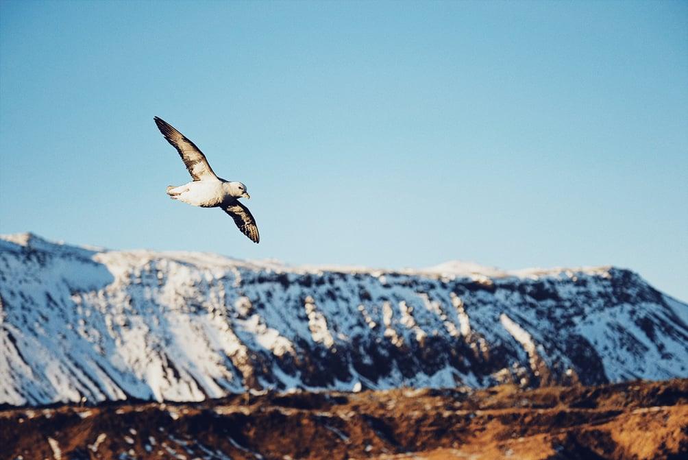 Arnarstapi  Plenty of gulls swooping around the cliffs near one of Iceland's most famous houses.