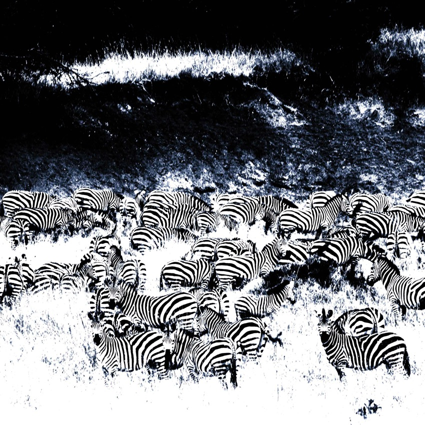 Zebra Herd No. 3