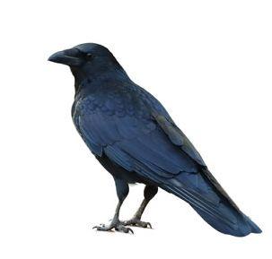 amcr_crows_4_cropped1.jpeg
