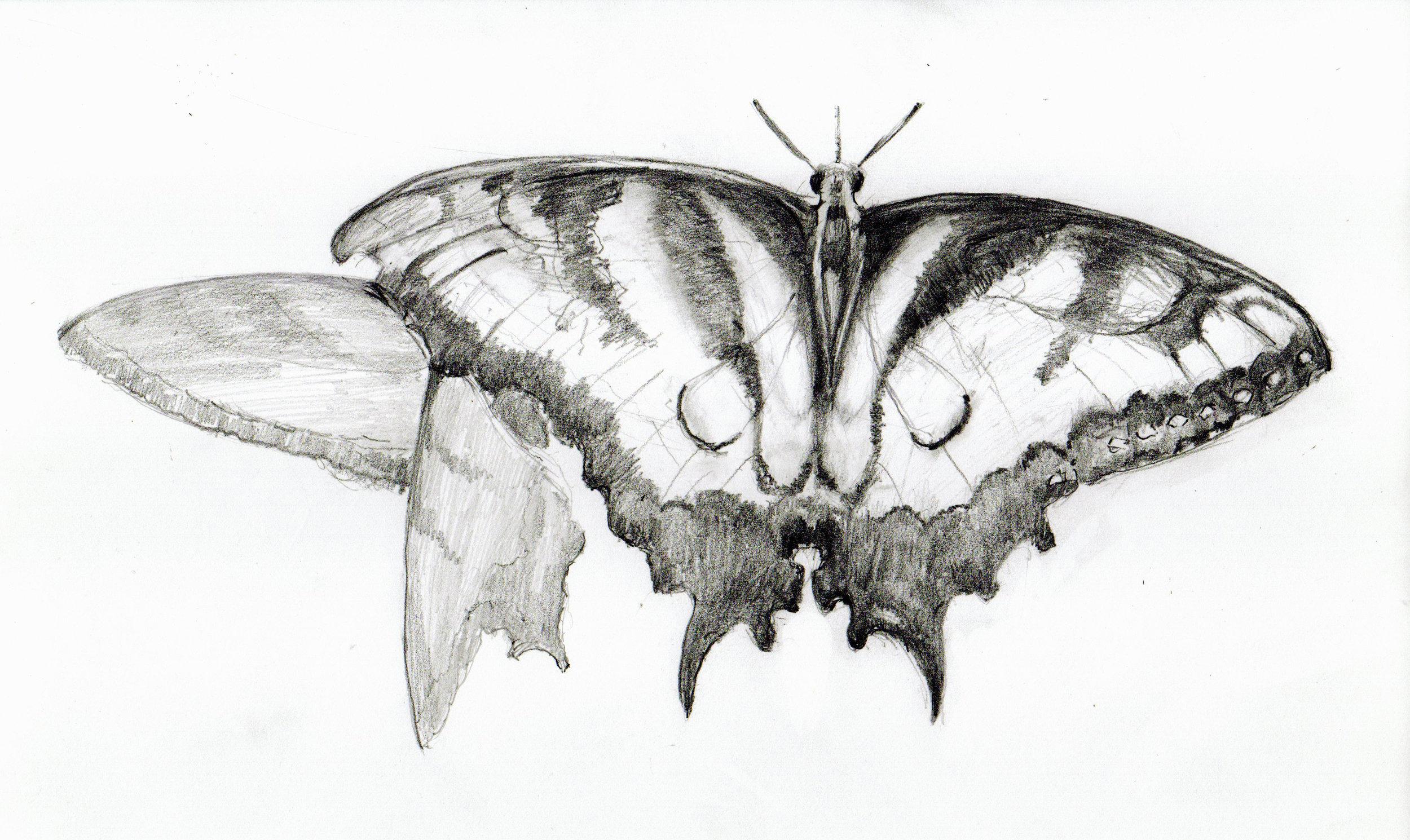 Butterfly_drawing-1.jpg