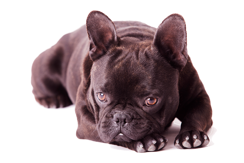 french-bulldog-black_low.png