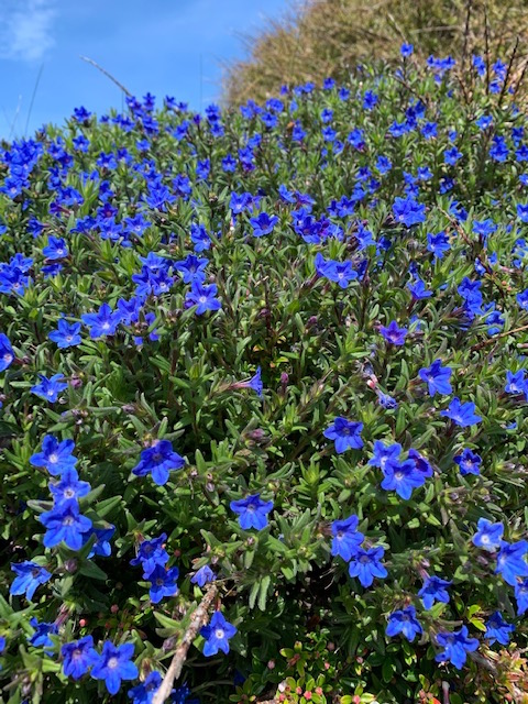 Beautiful cobalt blue flowers on Rathlin Island. I don't know what they are called.