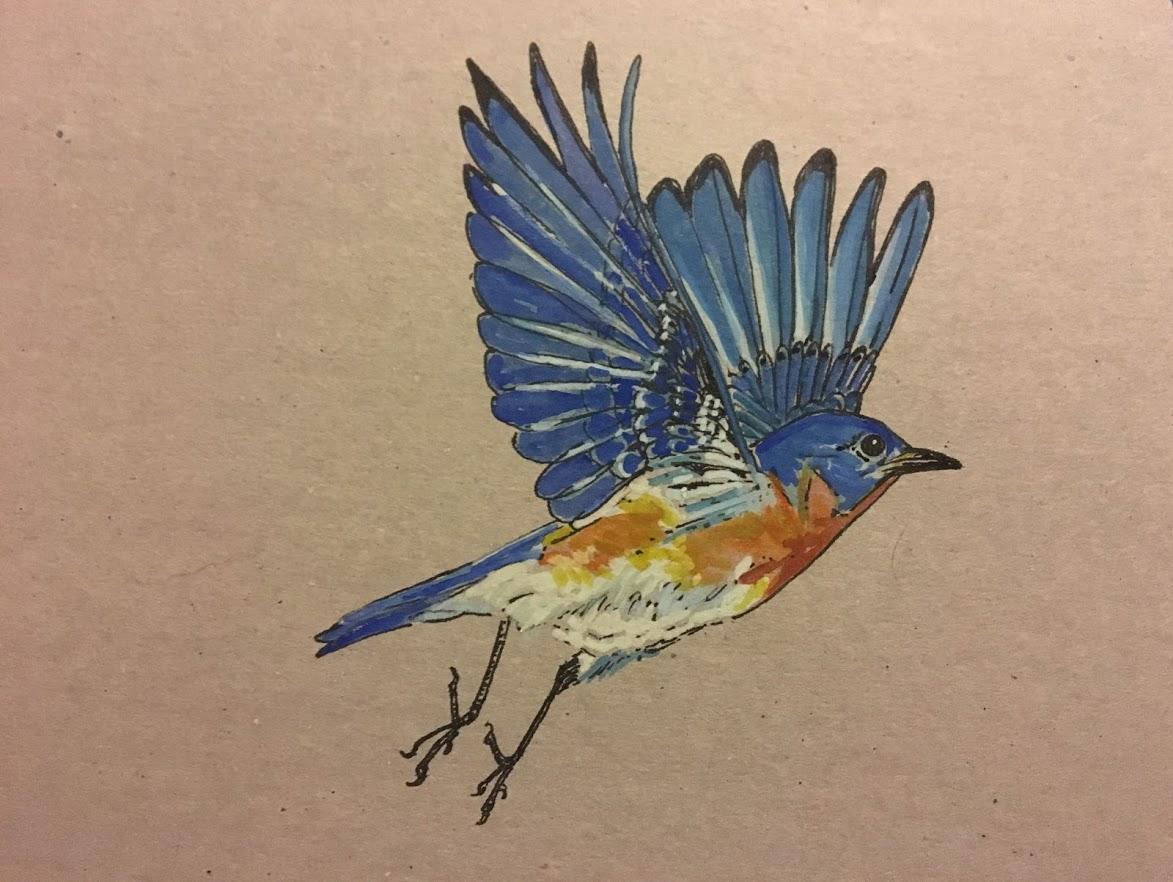 Eastern Bluebird in flight.JPG