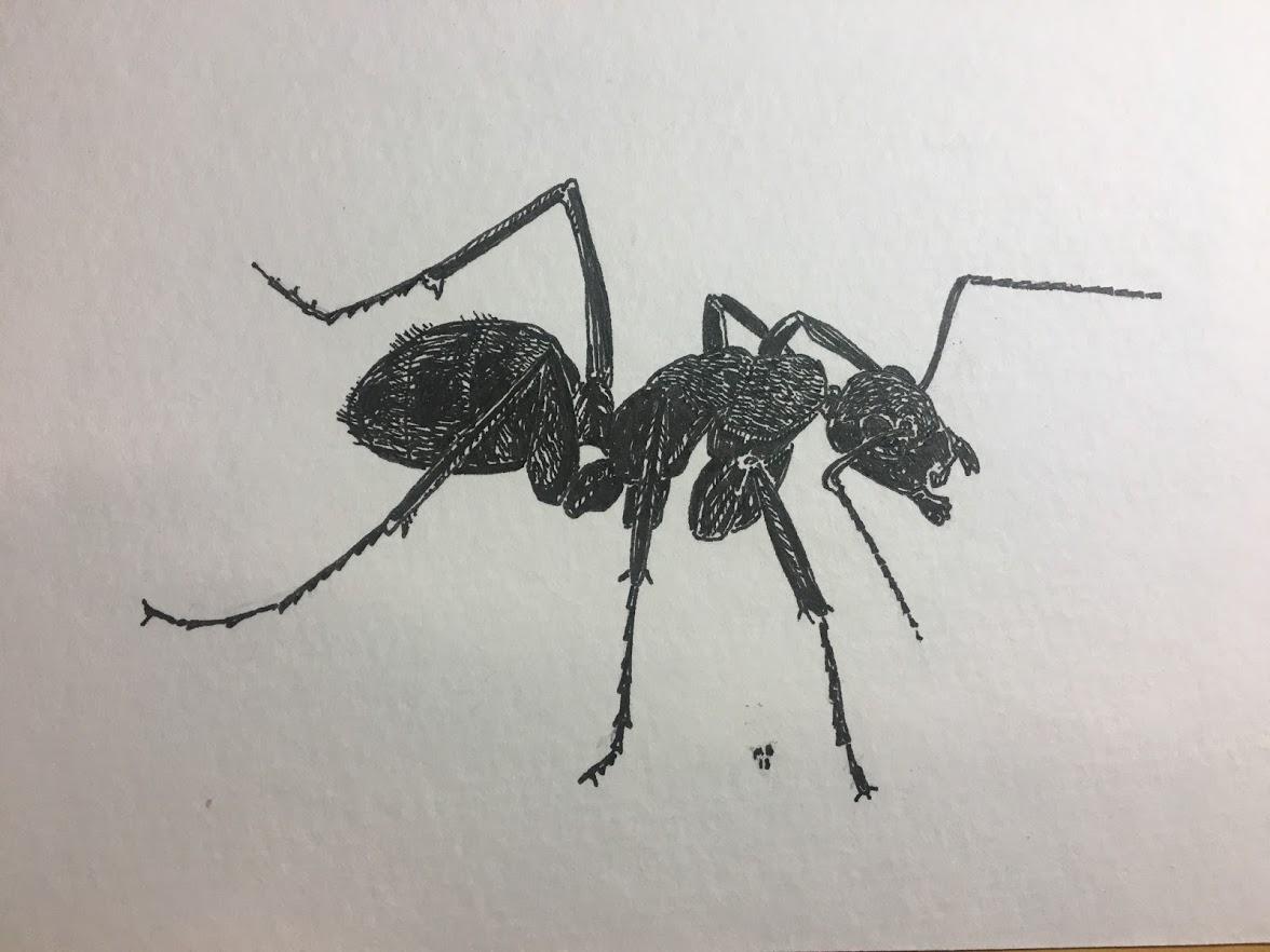 Black Carpenter Ant.JPG