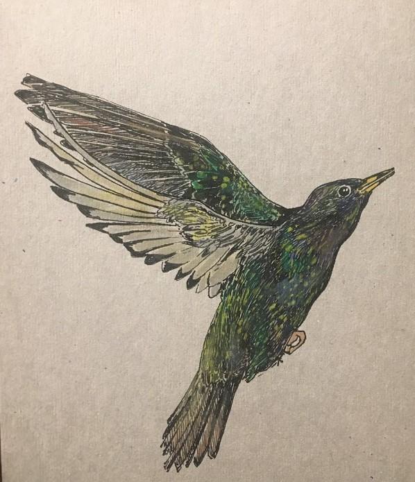 Common Starling.JPG