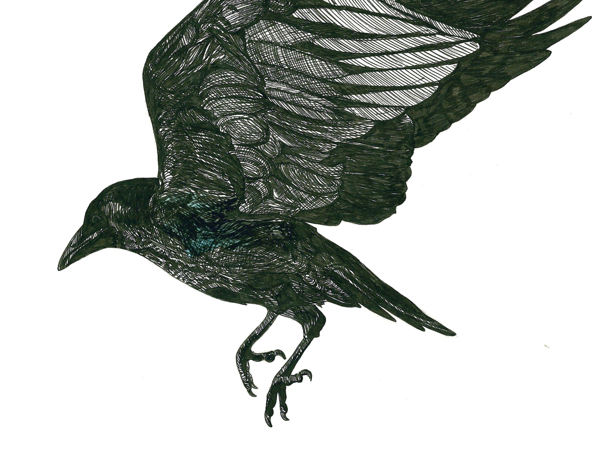 North American Crow .jpeg