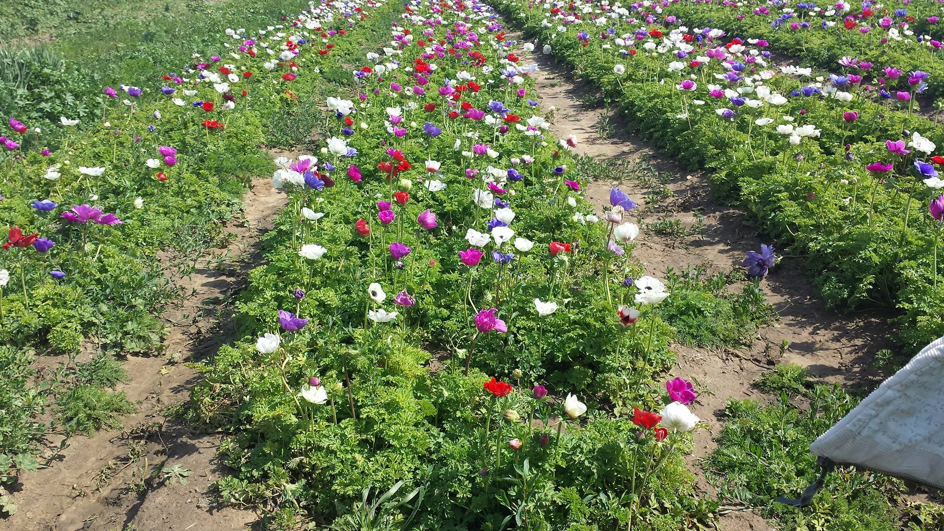 """""""This is the field of anemones in the village, where my school is. One of the most beautiful places I know, and my favorite."""""""