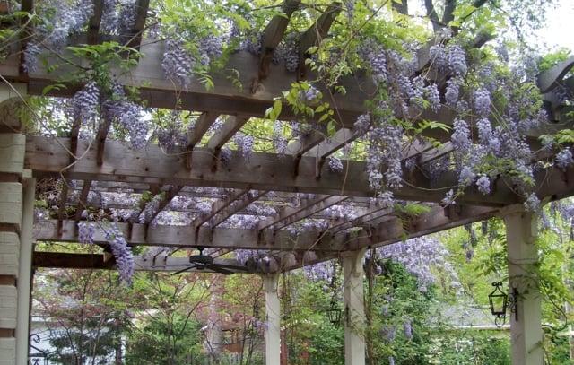 pergola & wisteria