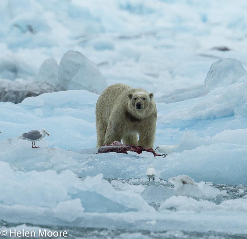 Polar Bear with dinner-4.jpg