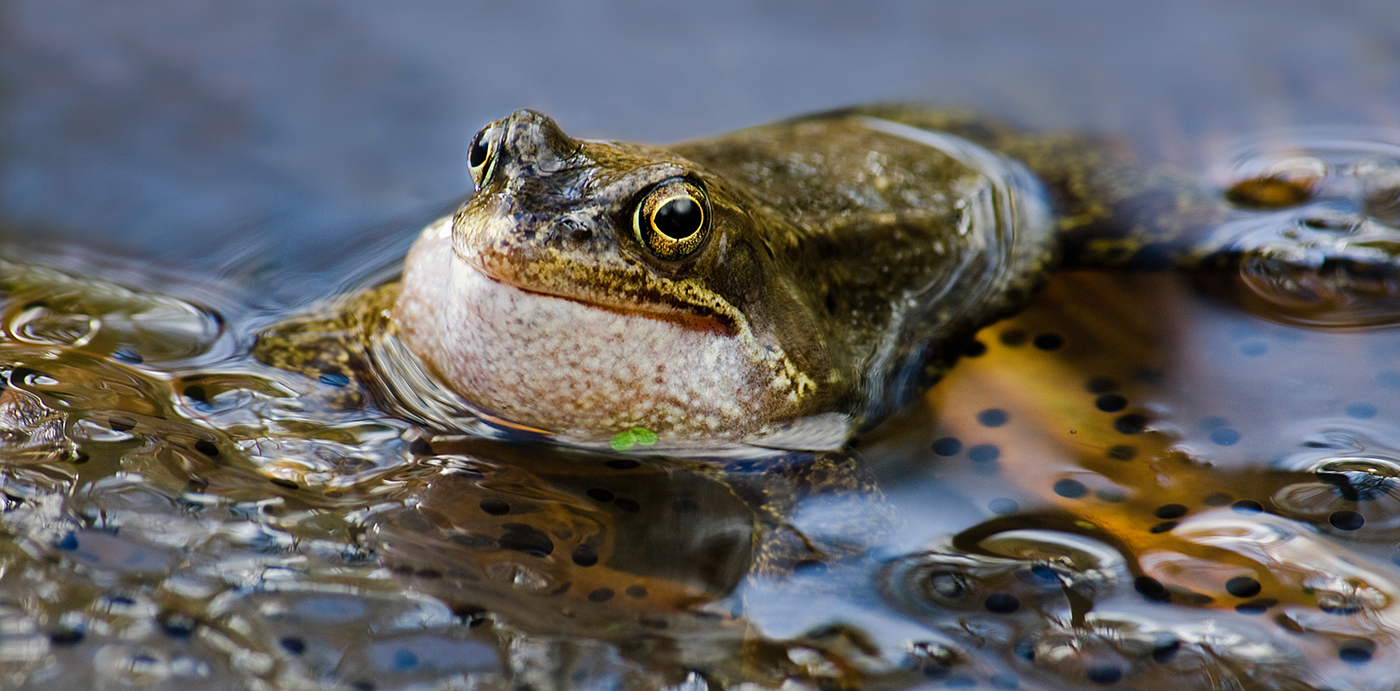 Common Frog and Spawn.jpg