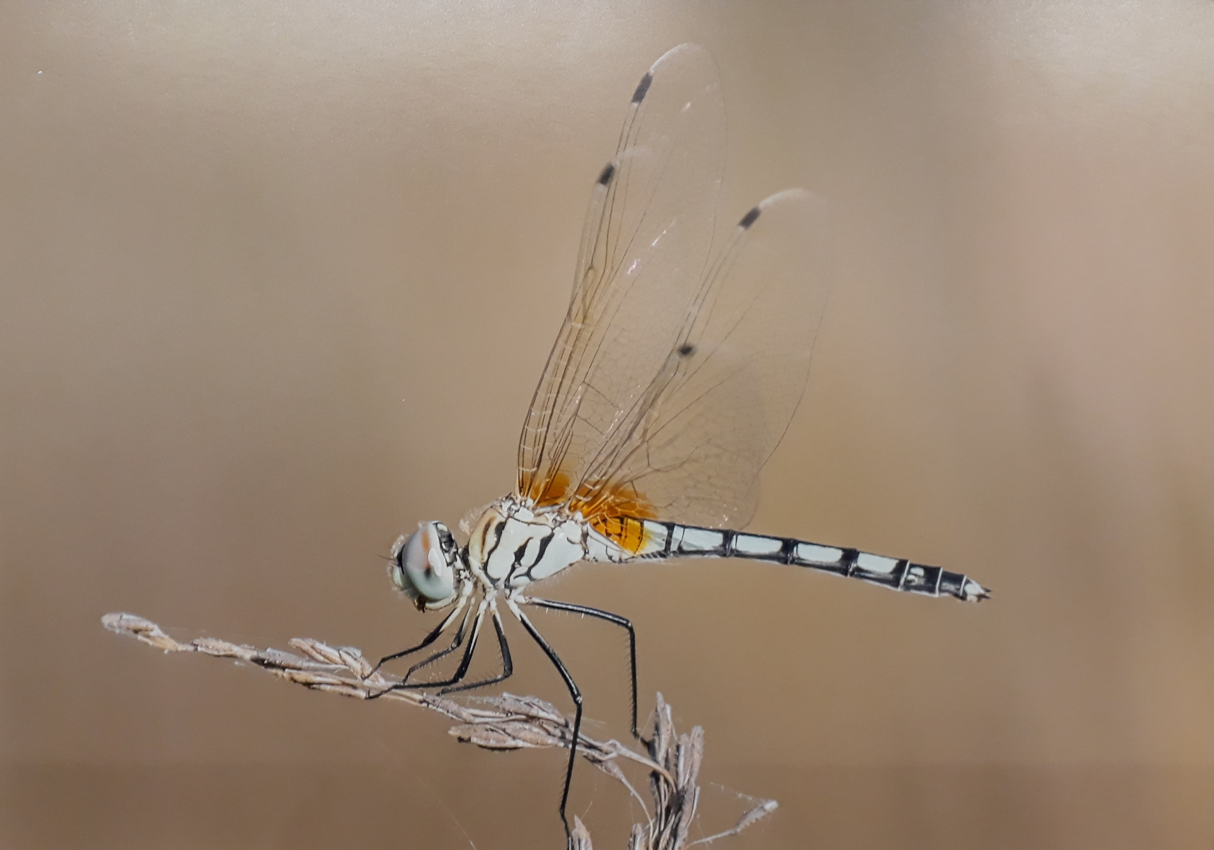 2 Dragonfly India James Moore