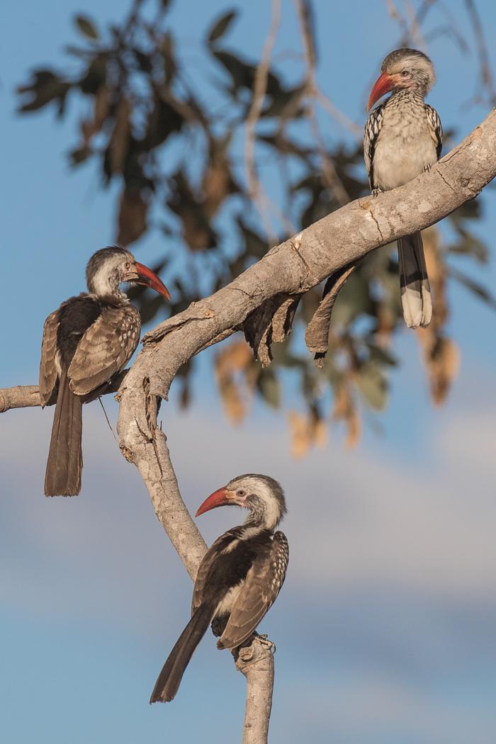 A Trio of Hornbills.jpg