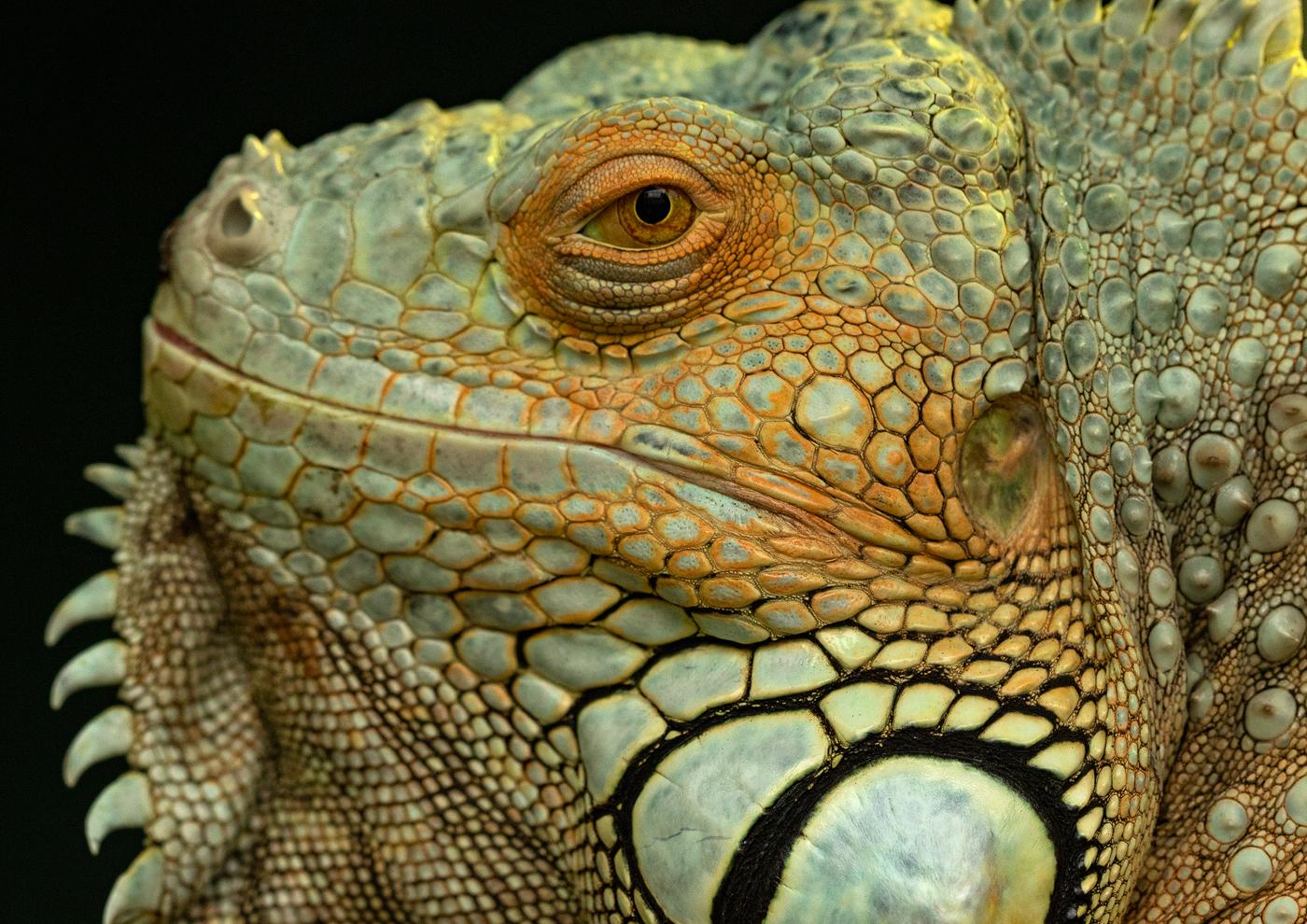 Buckfast Iguana.jpg