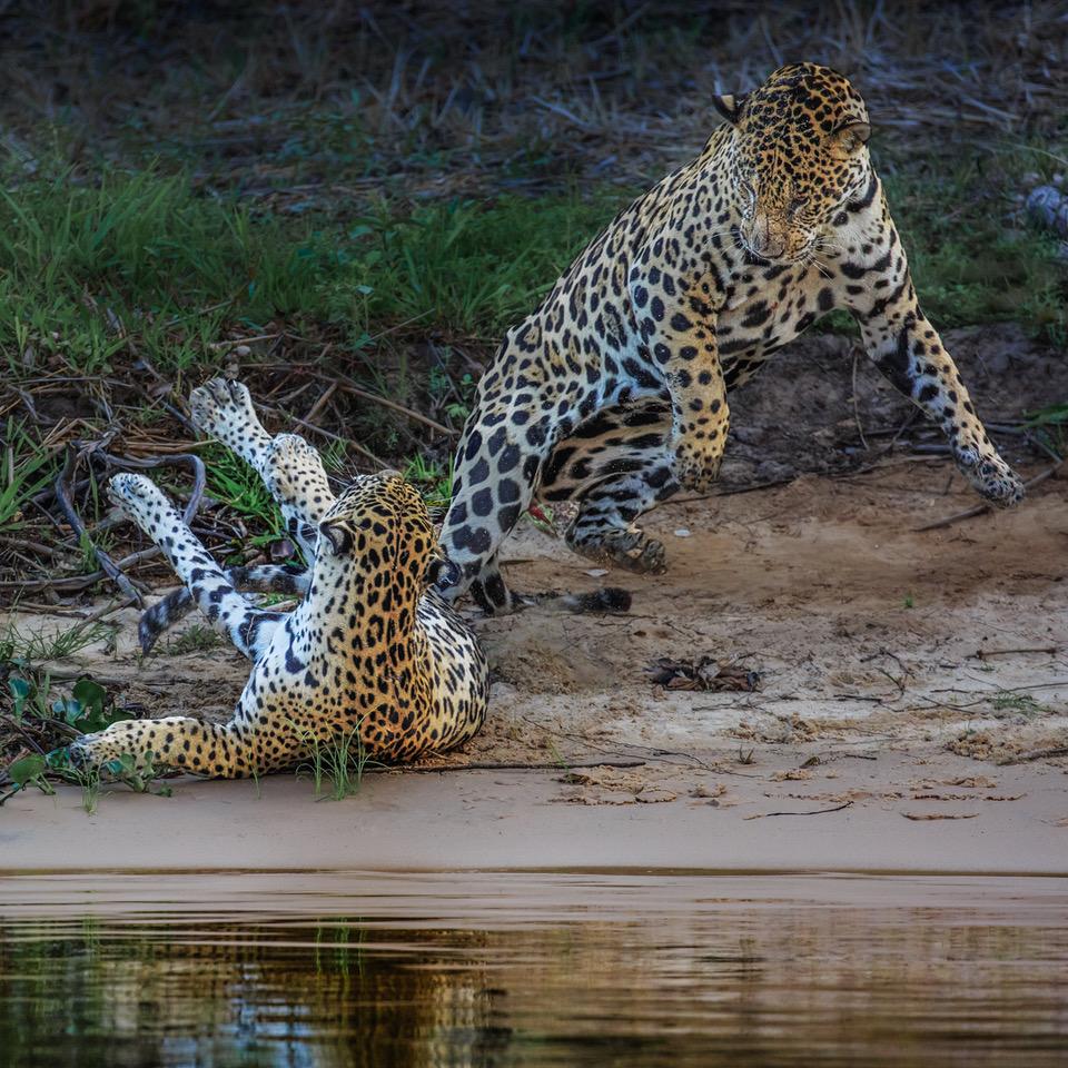 1. Helen Moore - Wild Jaguars