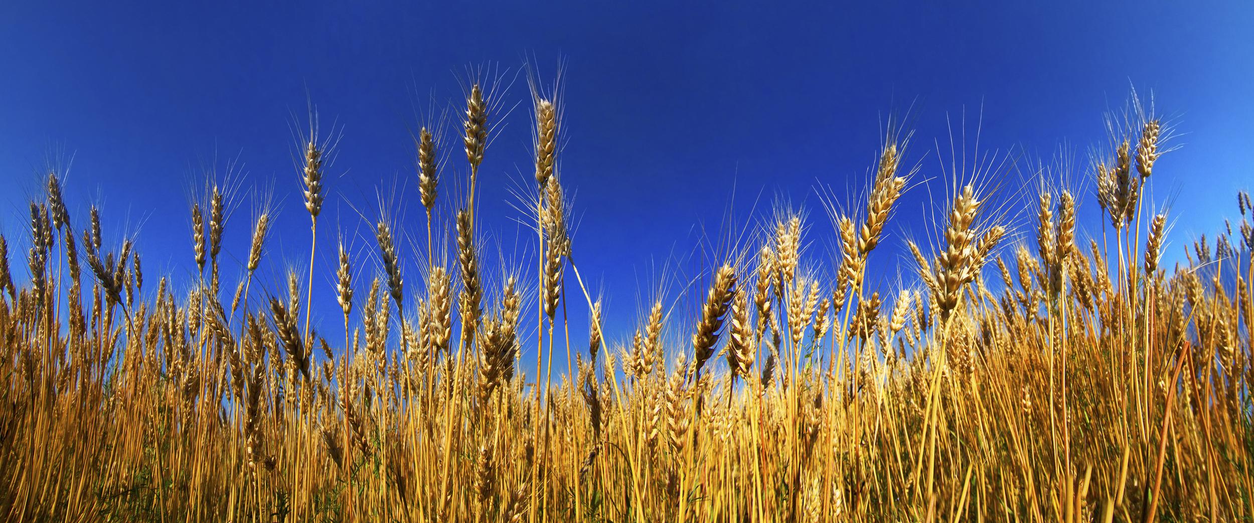 Wheat Field in Ukraine