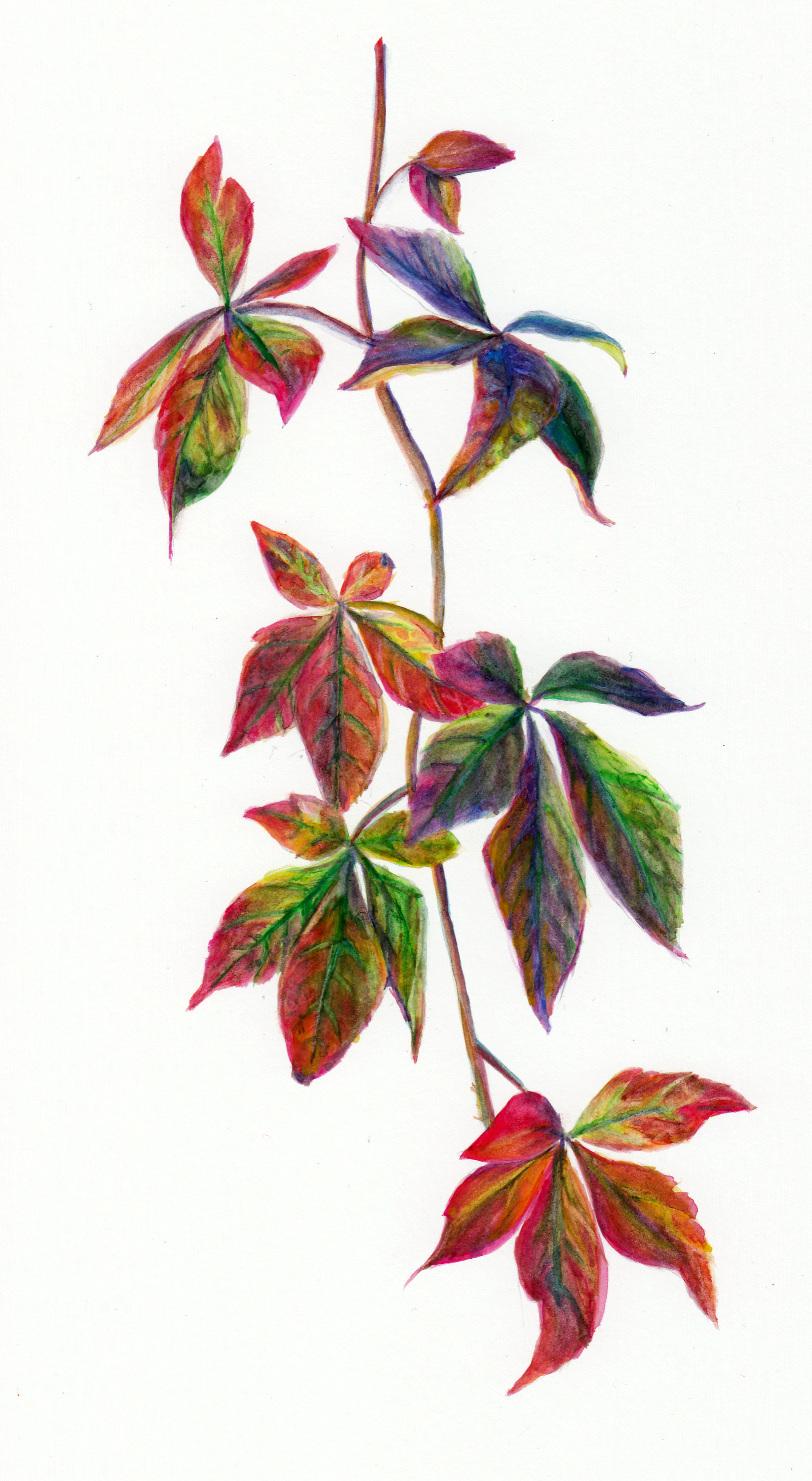 Virginia Creeper.jpg