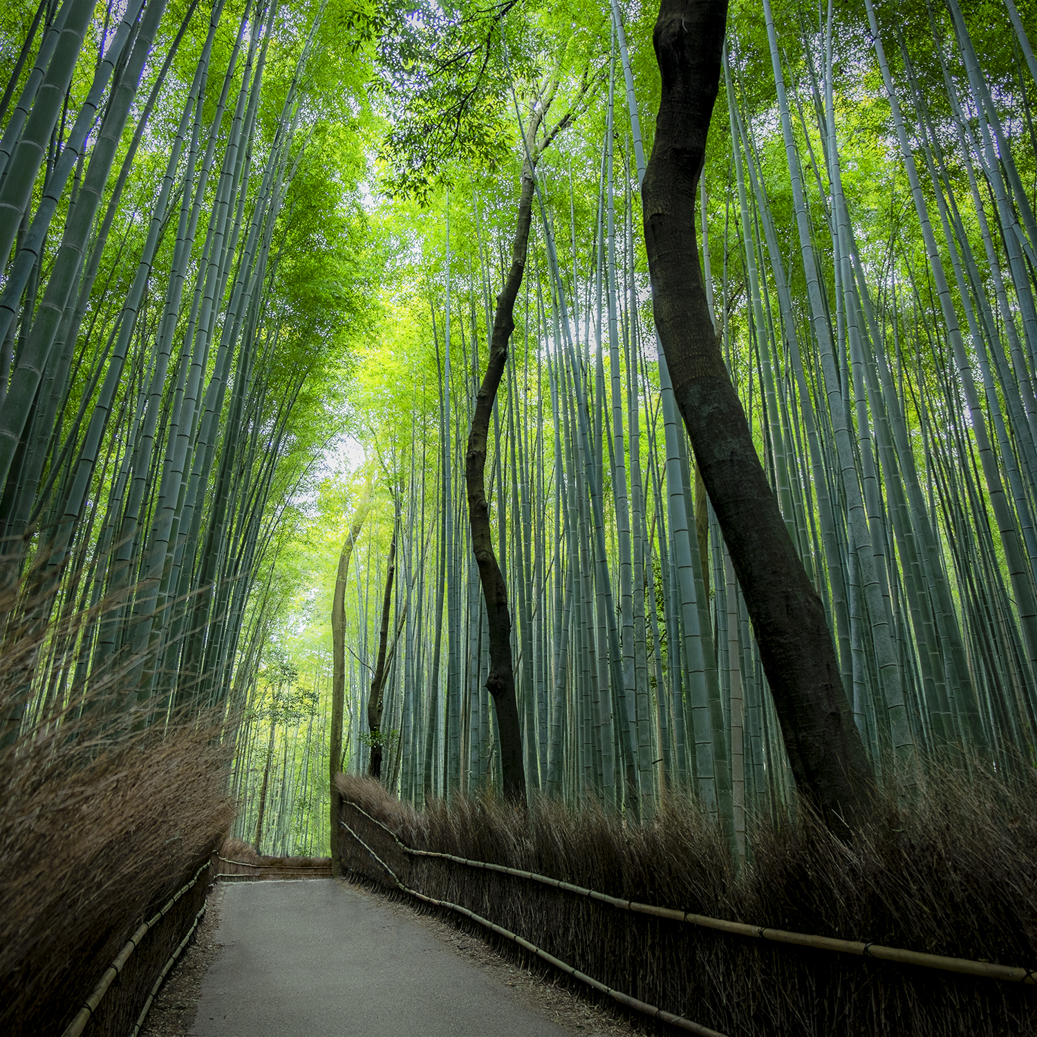 One of many paths through the bamboo groves.